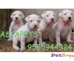 Dogo argentino Puppy For Sale in Delhi
