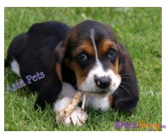 Basset hound Puppies For Sale in Delhi