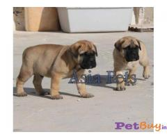 Bullmastiff Puppies For Sale in Delhi