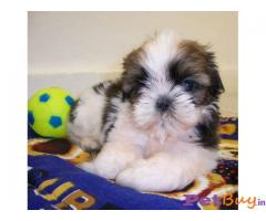 Shih Tzu Puppy Best Price In India