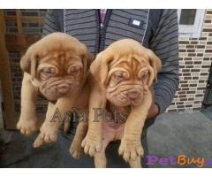 French mastiff Puppies For Sale in Delhi