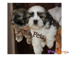 Lhasa apso Puppies For Sale in Delhi