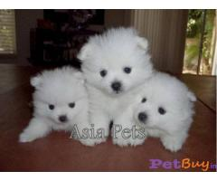 Pomeranian Puppies For Sale in delhi