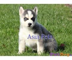 Siberian Husky Price In India   Siberian Husky For Sale In India  4 
