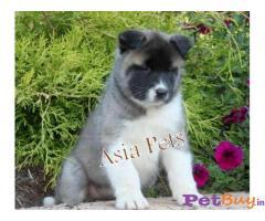 Akita Puppy Price In Bhubaneswar | Akita Puppy Price In Bhubaneswar |3|