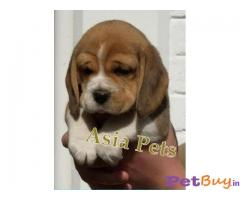 Beagle Puppy Price In Bhubaneswar | Beagle Puppy Price In Bhubaneswar |3|