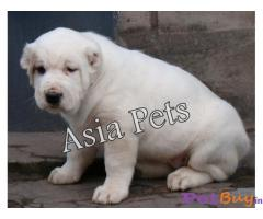 Alabai Puppy Price For Sale in Mumbai
