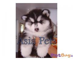 Alaskan malamute Puppy Price For Sale in Mumbai