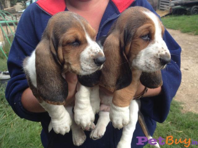 Basset hound Puppy Price For Sale in Mumbai