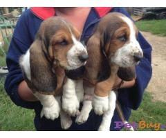 Basset hound Puppy Price For Sale in Mumbai