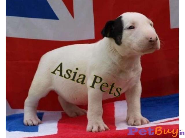 Bullterrier Puppy Price For Sale in Mumbai