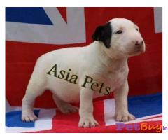 Bullterrier Puppy Price For Sale in Mumbai