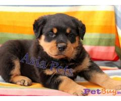 Delhi Buy Rottweiler Male Pups Online in Delhi Delhi India