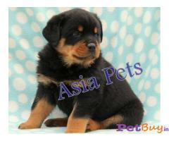 Rottweiler pups for sale in delhi