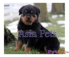 Rottweiler Price in India,Rottweiler puppy for sale in Delhi