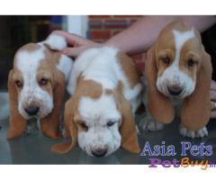 Basset hound price pup delhi