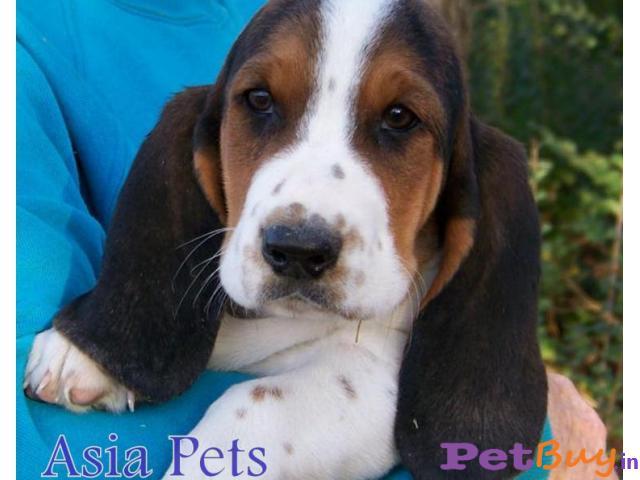 Basset hound price pup delhi   India