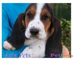 Basset hound price pup delhi | India