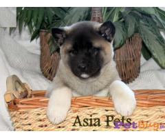 Akita Puppies For Sale in Delhi