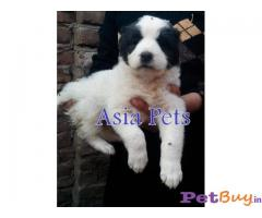 ASIAN SHEPHERD PRICE PUP DELHI HEAVY BONED