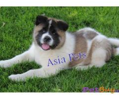 Akita Puppies For Sale In Ahmedabad | Asia Pets 1