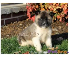 Akita Puppy For Sale