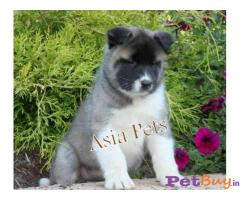 AKITA PUPPIES FOR SALE - Ahmedabad