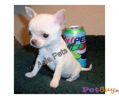 Chihuahua puppies for sale Pets & animals Ahmedabad