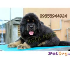 Tibetan Mastiff puppies for sale in Asia Pets -