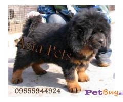 Tibetan mastiff Mumbai - Pets - Pet Accessories Mumbai