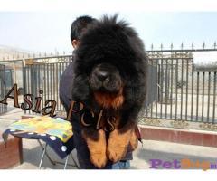 Tibetan Mastiff Price In India | Tibetan Mastiff For Sale In India