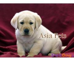 Labrador India - Pets - Pet Accessories India
