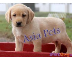 Dogs & puppies for sale Delhi