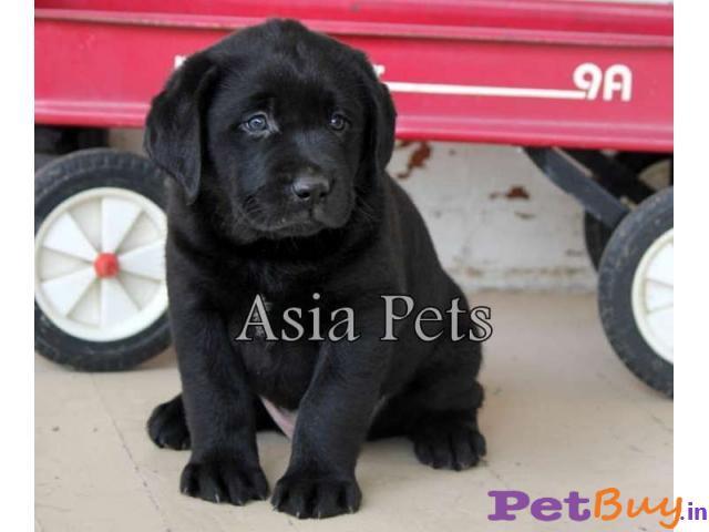 black labrador puppy for sale in delhi