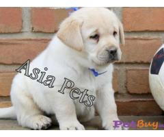 Labrador puppies for sale delhi Delhi