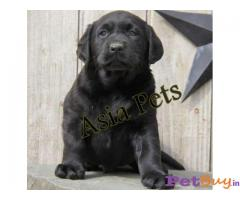 Labrador Retriever dogs for sale Delhi