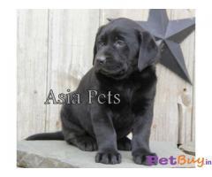 Labrador gurgaon Gurgaon - Pets - Pet Accessories Gurgaon