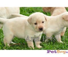 Sale labrador Gurgaon - Pets - Pet Accessories Gurgaon