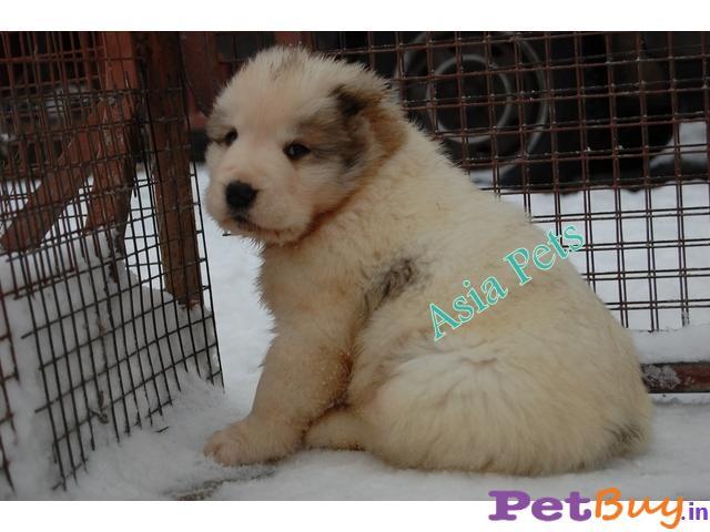 Dog For Sale In Gurgaon | Dog Price in Gurgaon | Asiapets.in 2