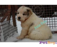 Dog For Sale In Gurgaon | Dog Price in Gurgaon | Asiapets.in 2