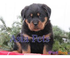 Rottweiler Dogs For Sale In Gurgaon| Asiapets 1