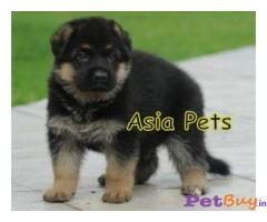 German Shepherd dogs for sale Gurgaon