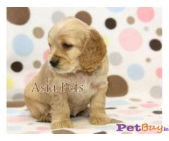 Cocker Spaniel (English) Price In India | Cocker Spaniel (English) For Sale In India | Breed