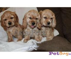 Cocker Spaniel (American) Price In India | Cocker Spaniel (American) For Sale In India | Breed