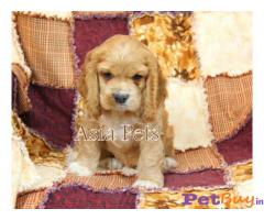 Cocker Spaniel (American) Price In India | Cocker Spaniel (American) For Sale In India | Breed |1|