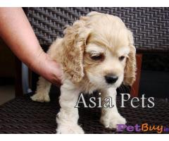 Cocker spaniel Puppy Price For Sale in Mumbai
