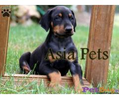 Doberman Puppy Price For Sale in Mumbai