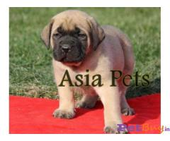 English mastiff Puppy Price For Sale in Mumbai