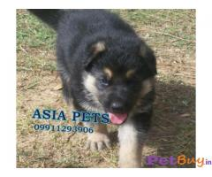 German shepherd Puppy Price For Sale in Mumbai