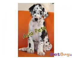 Harlequin great dane Puppy Price For Sale in Mumbai